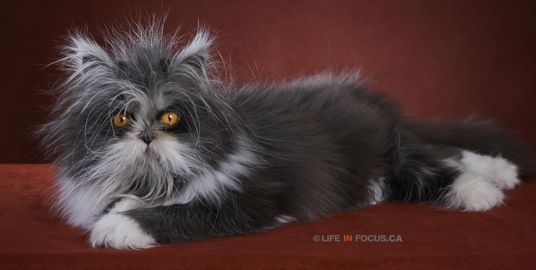 sphynx cat adoption san diego