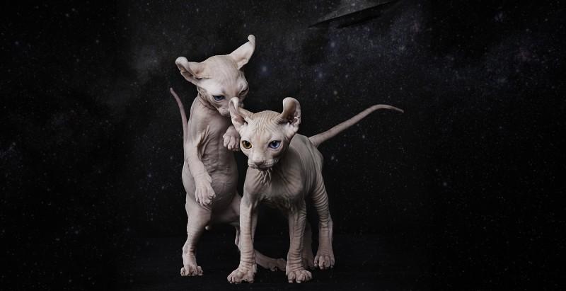 Elf Sphynx kittens