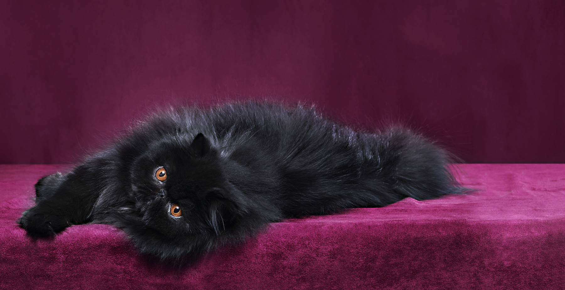 Black persian cat laying down