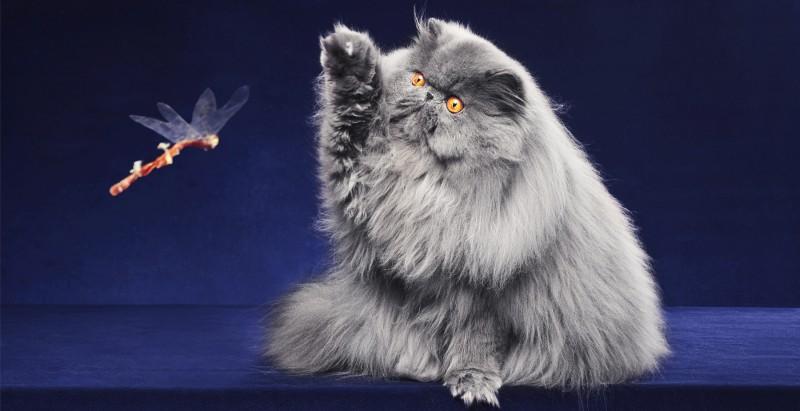 Gray persian cat playing