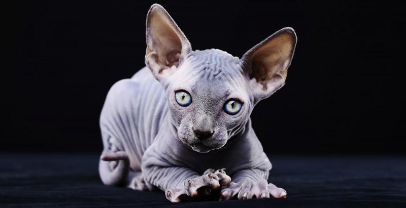 Gray sphinx kitten playing