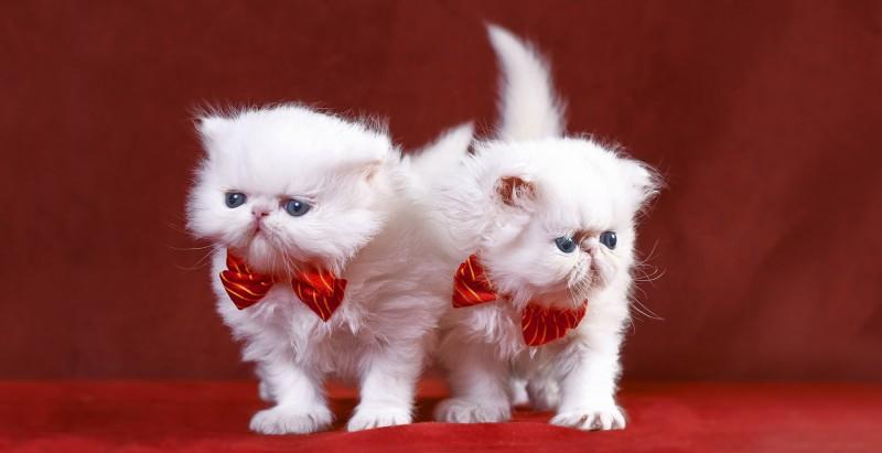 White persian kittens