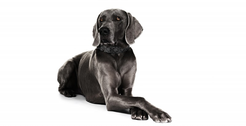weimaraner hunting dog