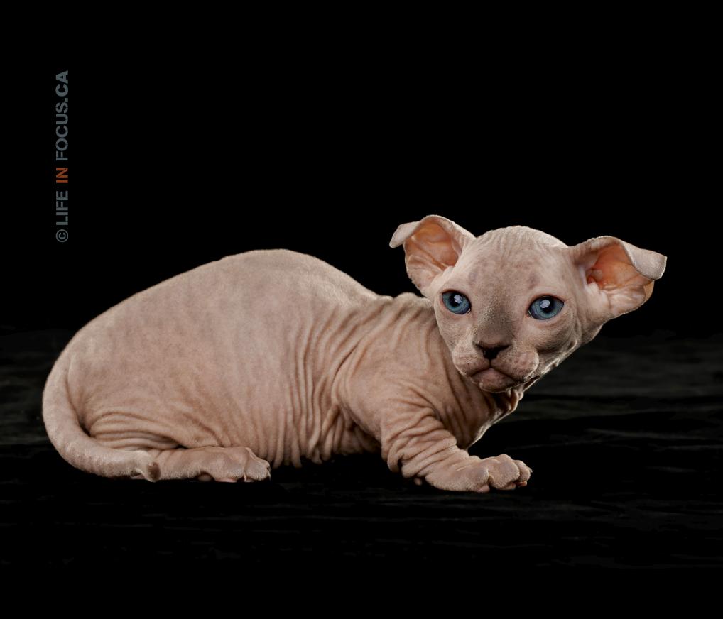 Tiny sphynx kitten