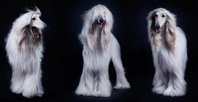 Afghan Hound Dog